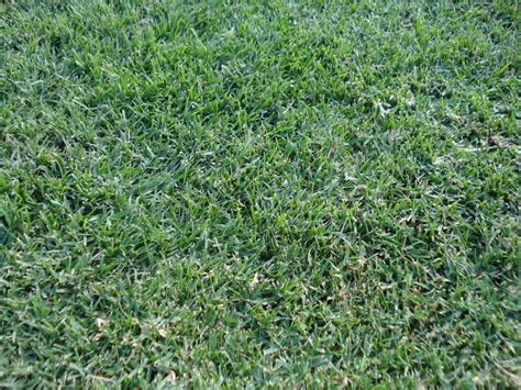 wintergreen couch seed stadium grass allenview turf