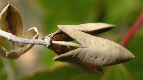 poliothyrsis sinensis flacourtiaceae image