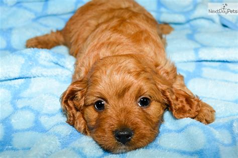 cavapoo puppies illinois cavapoo puppy for sale near southern illinois illinois c259ceb1 cf81