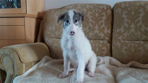 borzoi puppies for sale borzoi puppies or russian wolfhound penrith cumbria pets4homes