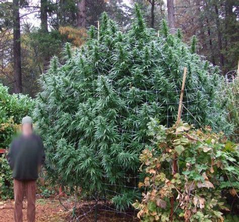 comment sortir les plantes de cannabis en ext 233 rieur