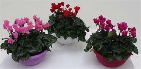 cura ciclamino in vaso ciclamini cura piante appartamento come curare i ciclamini
