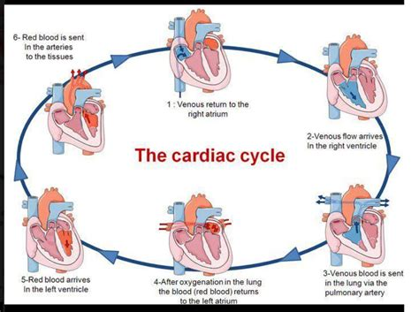 this diagram of the human cycle shows that cardiac cycle medicina cycling