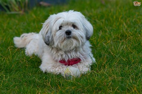 average weight for maltese shih tzu malshi breed information buying advice photos and facts pets4homes