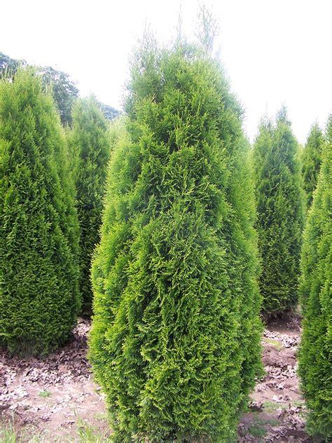 thuya occidentalis medicina integrativa thuja 193 rvore da vida tuia thuja occidentalis arbor