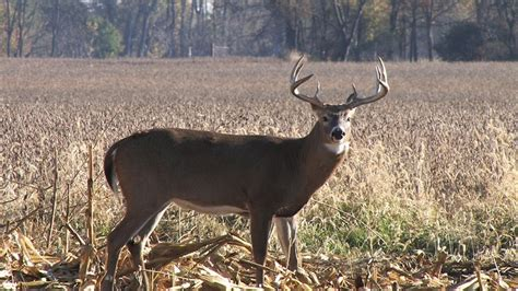 buck for a whitetail buck s favorite foods pics