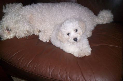 puppy for f1 poochon puppies for sale brighouse west pets4homes