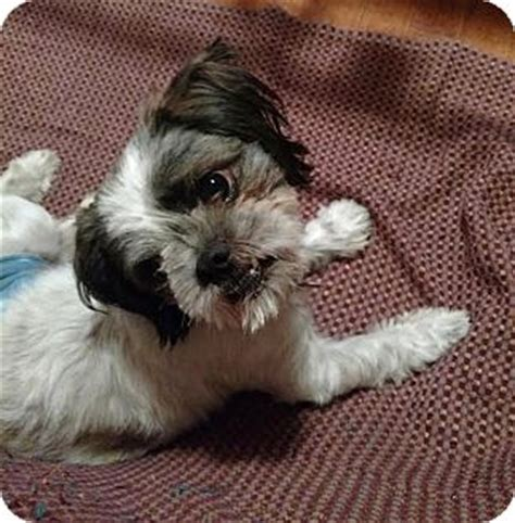 shih tzu jacksonville fl jacksonville fl shih tzu meet buster brown a for adoption