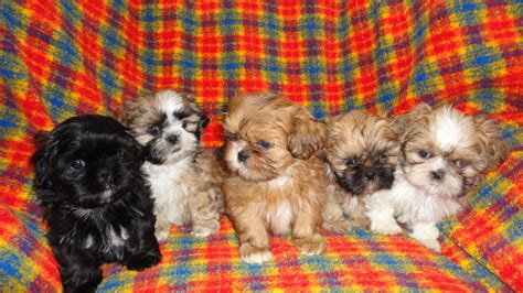 shih tzu imperial for sale half imperial shih tzu puppies for sale birmingham west midlands pets4homes