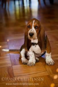 how much are basset hound puppies basset hound puppy by hank christensen via flickr basset hounds