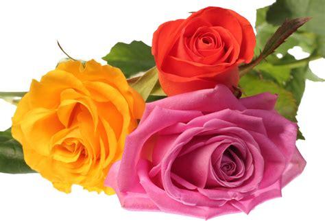 imagenes rosas color flowers galer 237 a de im 225 genes