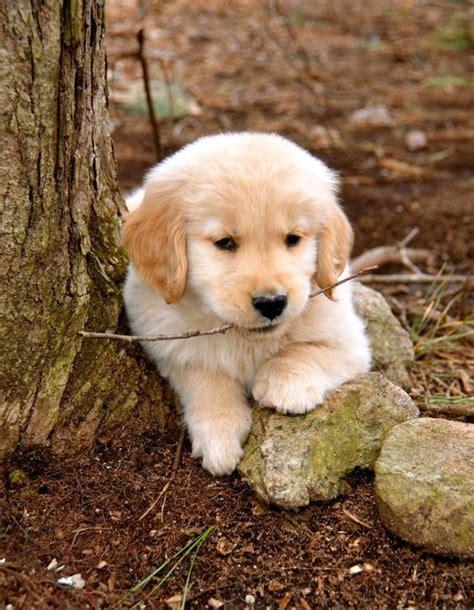 golden retriever types of dogs golden retriever puppy puppy pictures
