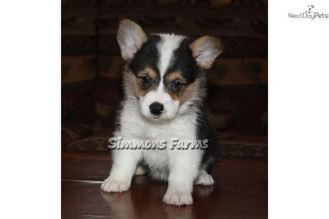corgi puppies for sale in missouri best 20 corgi puppies for sale ideas on corgi dogs for sale small