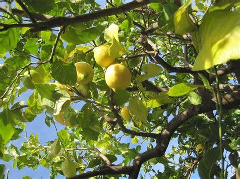 albero limone in vaso albero limone potatura albero di limone