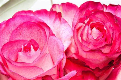 Tanaman Hias Bunga Mawar Floribunda Pink gambar alam menanam putih daun bunga cinta berwarna