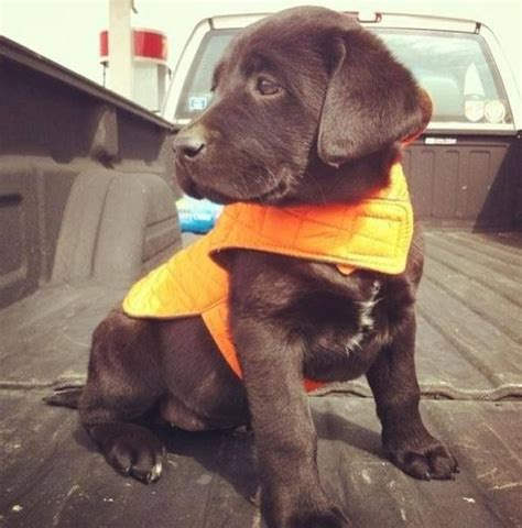 chocolate lab puppies ta 17 best images about just for you twix on