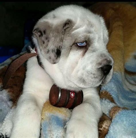 st bernard mix puppies for sale great dane bernard mix puppies breeds picture