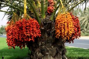 palm tree fruit name the importance of dates in the uae sheikh mohammed