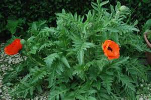 poppy plant jpg hi res 720p hd