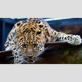 Young leopard w...