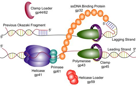 4 proteins involved in dna replication t4 dna replication