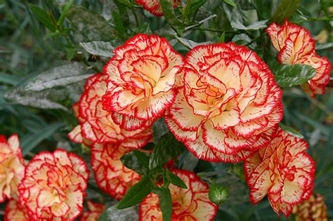 garofano fiore garofano storia leggende e linguaggio dei fiori il