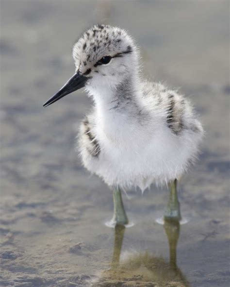 let s learn about unique birds letã s american avocet seashore saturday birdnation