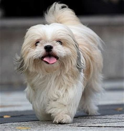 why has my maltese terrier got thin hair cute dogs pets shih tzu pictures shih tzu dogs and puppies
