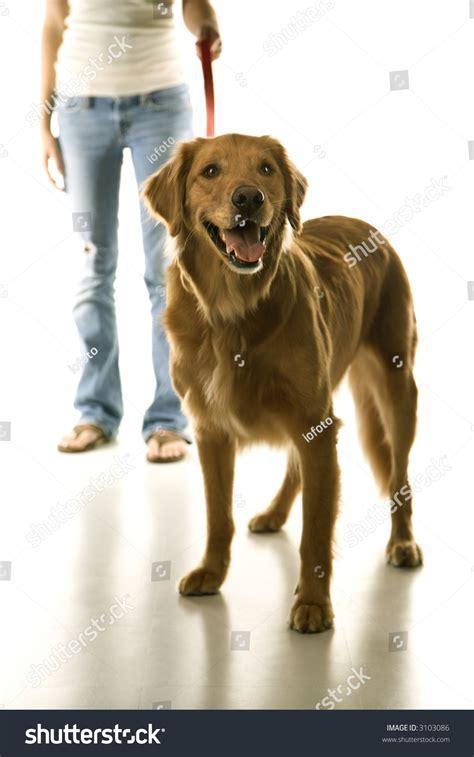 leash golden retriever puppy golden retriever on leash with adolescent caucasian stock photo 3103086