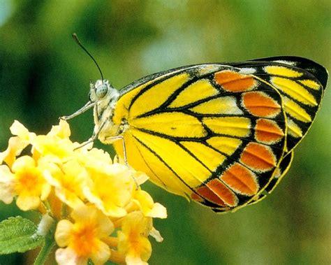black wallpaper with yellow butterflies yellow butterfly feeding on nectar wallpaper urban art