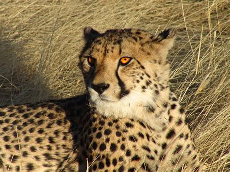 south african cheetah simple english wikipedia the free file namibian cheetah jpg simple english wikipedia the