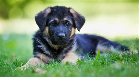 how much to feed german shepherd puppy how much do u feed a german shepherd puppy photo