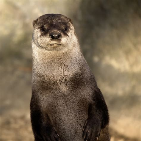 a river otter is any of 13 living species of semiaquatic