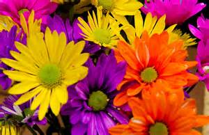 colorful daisies of the day colorful daisies