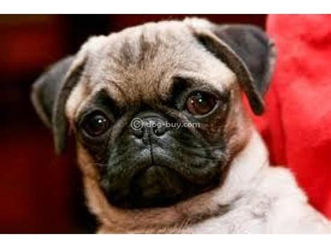 pug for sale in mumbai 78 images about puppies for sale on mastiff puppies black colors