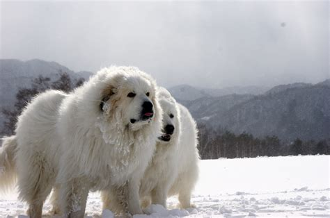 great pyrenees 48 million travelers thanksgiving 2014 west coast clear midwest east mid atlantic