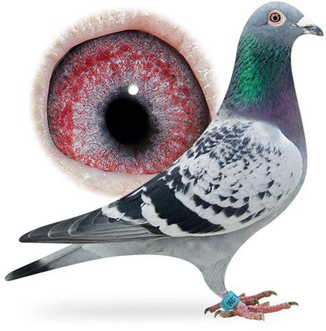 Lcute Set 3in1 Pigeons aaldering racing pigeons