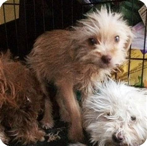 yorkies for adoption in ma boston ma cairn terrier yorkie terrier mix meet fran a puppy for adoption