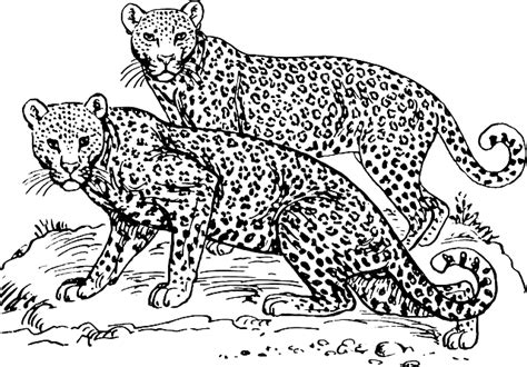 snow tiger coloring page free vector graphic leopards wildcats maneaters free