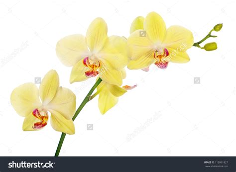 Orchid Yellow yellow moth orchid clipart clipground