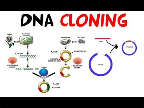 section 13 1 review dna technology recombinant dna technology youtube