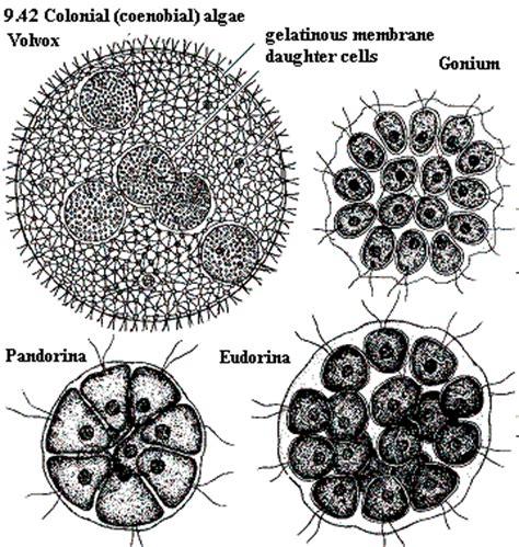 volvox diagram volvox diagram labeled www pixshark images