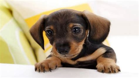 top ten cutest puppies top 10 dogs in the world