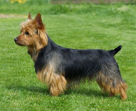 australian terrier puppies pin by lover on australian terrier