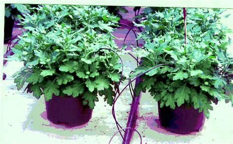 Pupuk Untuk Bunga Krisan gema wirausaha teknik budidaya bunga krisan pot