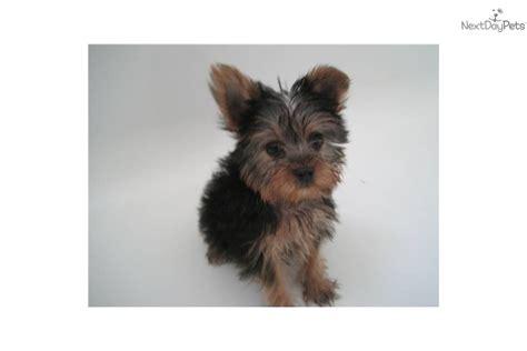 12 week teacup yorkie meet danna a terrier yorkie puppy for sale for 1 000 tiny teacup 1