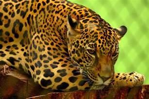 Jaguar Jaguar Jaguar Free Photo Jaguar Big Cat Carnivore Feline Free