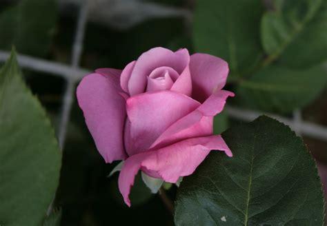 significato dei fiori rosa viaggiare con me il significato dei fiori rosa lilla
