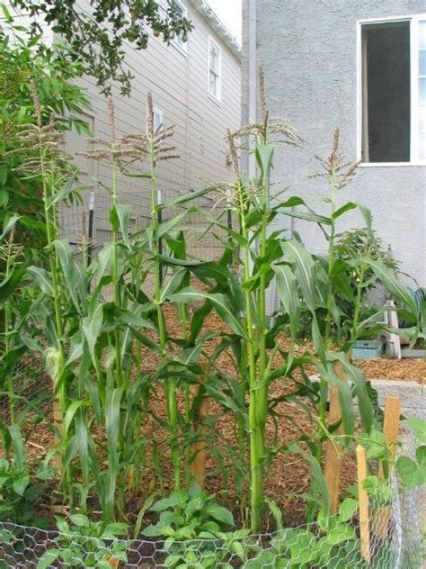 how to grow corn in your backyard 25 best ideas about corn plant on pinterest corn plant