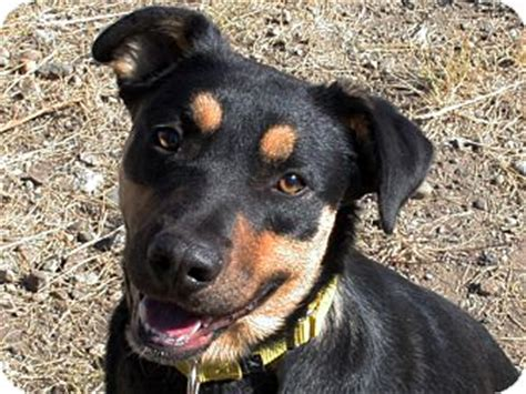 rottweiler australian cattle mix republic wa rottweiler australian cattle mix meet tank a for adoption